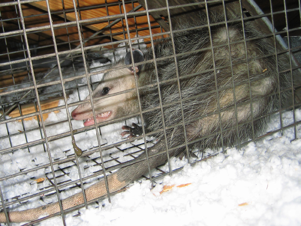 Jacksonville Florida Opossum Trapping Removal And Control